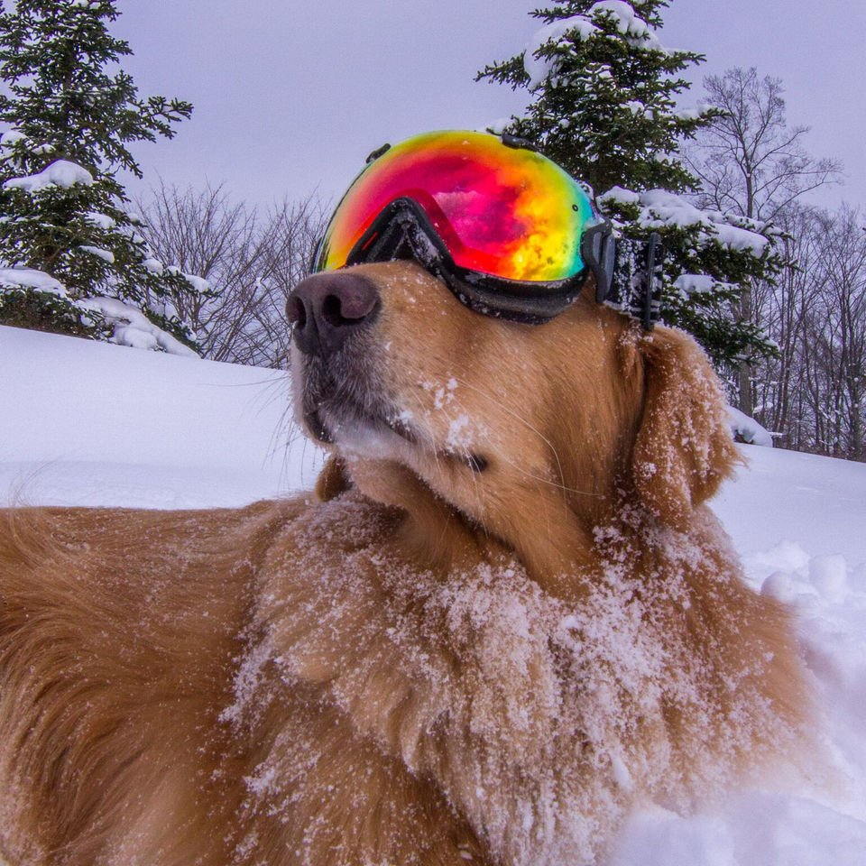Meet Fisher, Crystal Mountain's K9 ambassador